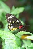 被栖息的蝴蝶叶子 库存图片