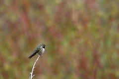 被栖息的野生蜂鸟 免版税库存图片