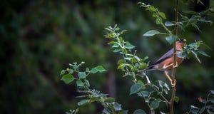 被栖息的鸟分行 免版税库存图片