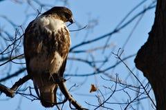 被栖息的鹰 图库摄影