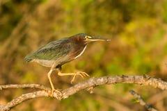 被栖息的绿色苍鹭 免版税图库摄影