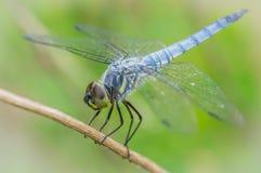 被栖息的蜻蜓 免版税库存图片