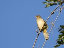被栖息的说话模糊不清的人鸟的图象 免版税库存图片