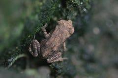 被楔住的青蛙 图库摄影