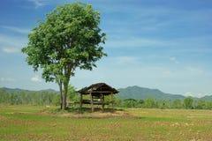被毁坏的棚子在米的树下发芽领域 免版税库存图片