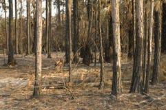 被毁坏的火森林 库存图片