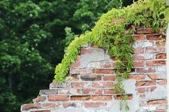 被毁坏的砖墙长满用蛇麻草 免版税图库摄影