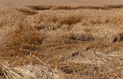 被毁坏的麦子 免版税库存图片