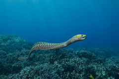 被波动的鳗鱼海鳗 库存照片