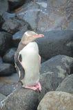 被注视的企鹅黄色 库存图片