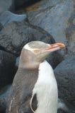 被注视的企鹅黄色 库存照片