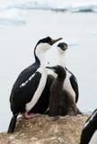 被注视的南极蓝色鸬鹚 免版税库存照片