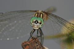 被注视的大蜻蜓 图库摄影
