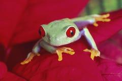 被注视的红色treefrog 库存图片