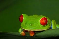 被注视的红色treefrog 免版税库存图片