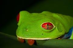 被注视的红色treefrog 免版税库存照片