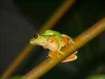 被注视的红色treefrogs 图库摄影