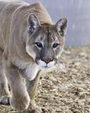 被注视的美洲狮疯狂 库存图片