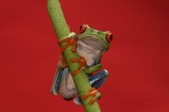 被注视的花青蛙红色结构树 免版税图库摄影