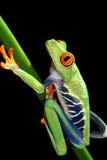 被注视的花青蛙红色结构树 图库摄影