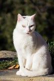 被注视的蓝色猫 图库摄影