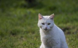 被注视的蓝色猫 免版税图库摄影