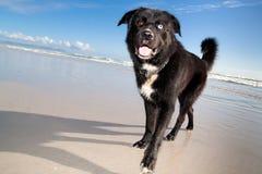 被注视的蓝色褐色狗 免版税库存图片