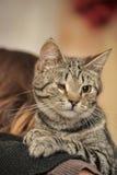 被注视的虎斑猫残疾抢救了动物园防御者由于一个风雨棚的一名妇女的作用无家可归的动物的 库存图片