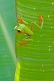 被注视的青蛙叶子红色结构树 库存图片