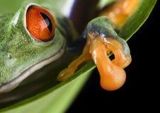 被注视的青蛙叶子红色 图库摄影