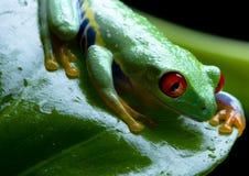 被注视的青蛙叶子红色 库存图片