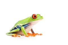 被注视的青蛙查出的红色结构树 免版税库存图片