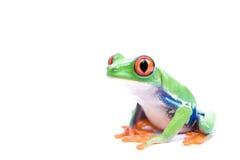 被注视的青蛙查出的红色结构树 免版税库存照片