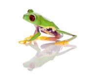 被注视的青蛙查出的红色 免版税库存图片