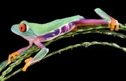 被注视的青蛙滑稽的红色结构树 库存图片