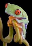 被注视的青蛙红色结构树藤 库存照片