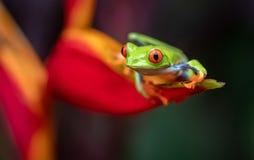 被注视的青蛙红色结构树 免版税库存照片