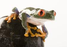 被注视的青蛙红色结构树 免版税库存图片