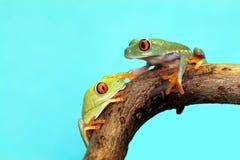 被注视的青蛙红色结构树 库存图片