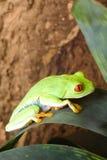 被注视的青蛙红色 免版税库存图片