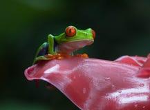 被注视的青蛙红色 免版税图库摄影