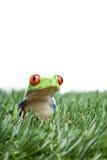 被注视的青蛙草红色结构树 免版税库存图片