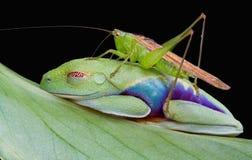 被注视的青蛙跳跃者红色结构树 免版税库存图片