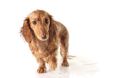 被浸泡的小狗 库存照片