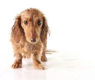 被浸泡的小狗 免版税库存照片