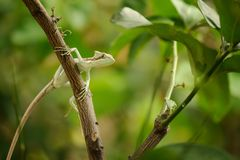 被涂抹的 在分支的蜥蜴在绿色森林里 免版税库存照片
