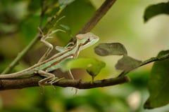 被涂抹的 在分行的蜥蜴 对Laemanctus serratus的特写镜头视图 墨西哥龙 免版税库存图片