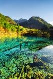 被淹没的树干在五Flower湖的水晶水中 免版税库存图片