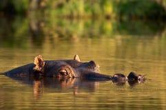 被淹没的河马 图库摄影