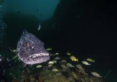 被清洗的石斑鱼 免版税库存照片